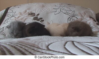 British kittens of different colors crawling on the bed - on...
