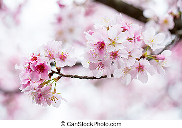 Cherry blossom ,pink flower sakura in Japan.