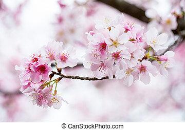 Cherry blossom ,pink flower sakura in Japan.
