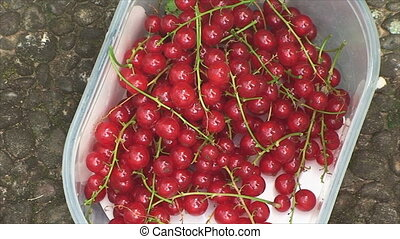 Harvesting red currants on the plot - ripe red currants are...