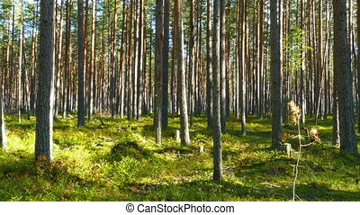 landscape with north pine forest, Karelia