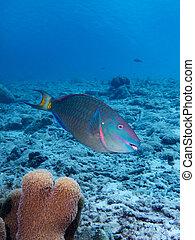 Stoplight Parrotfish - A Stoplight Parrotfish in the...