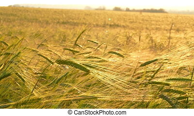 field of ripe wheat