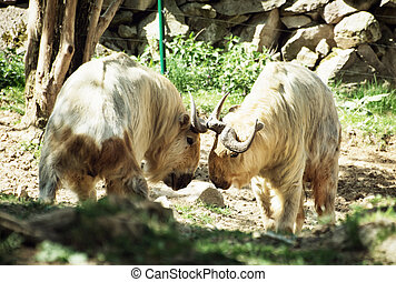 Golden takin (Budorcas taxicolor bedfordi). Animal scene.