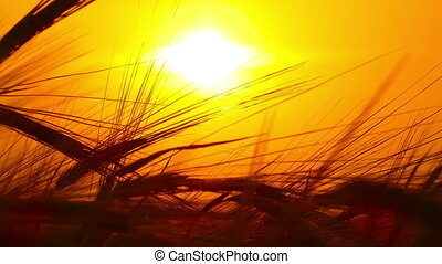 ears of ripe wheat against setting sun - ears of ripe wheat...