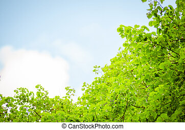 lush foliage and sky - lush foliage of the trees against the...