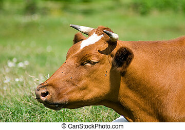 Cow face - White-brown cow lies on the pasture