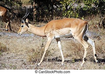 Impala - Male Impala Moremi Game Reserve, Botswana