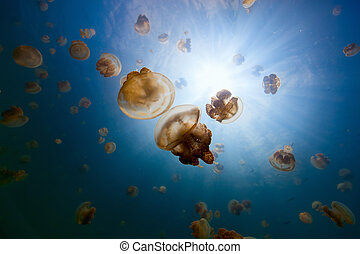 Jellyfish Lake - Underwater photo of endemic golden...