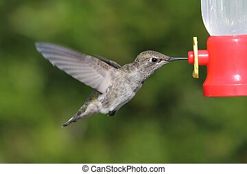 Annas Hummingbird Calypte anna in flight at a feeder with a...