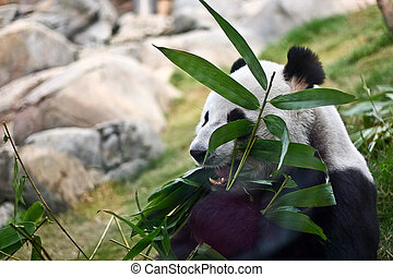 Giant panda - A giant panda is eating bamboo