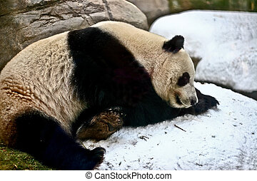 Giant panda is sleeping on snow