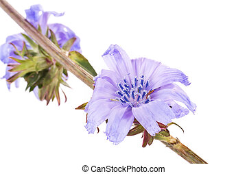 Chicory - Flowering plant chicory is isolated on a white...