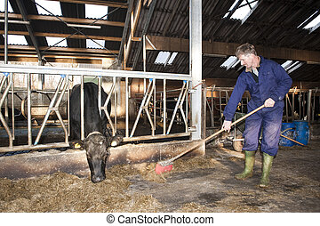 Cleaning a stable - Farmer cleaning a modern stable, while...