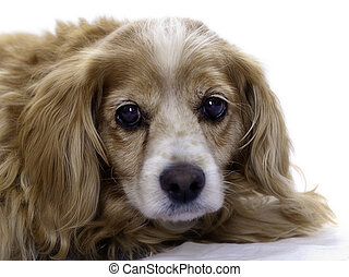 Isolated Cockapoo - An elderly cockapoo dog is isolated...