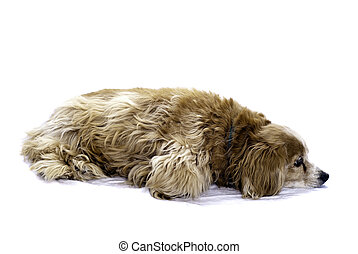 Cockapoo - A cockapoo lying on the floor, isolated against a...