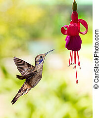 Hummingbird feeding on hardy fuchsia flower - Hummingbird...