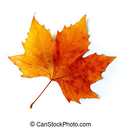 Fall Leaf - Beautiful golden Fall leaf isolated in white