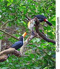 Colorful tucan - Colorful toco tucans in the aviary