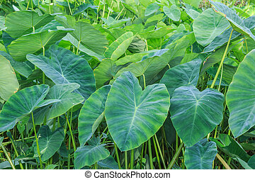 A field of taro plants