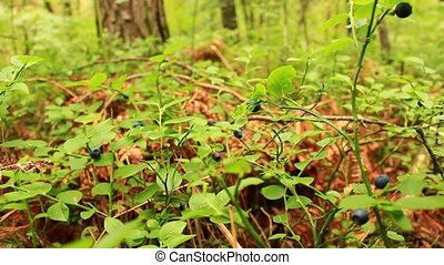 bilberry-bush with berries - bilberry-bush with ripe berries...