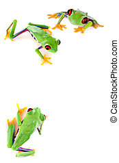 Red eyed frog corner - Young red eyed tree frogs isolated on...