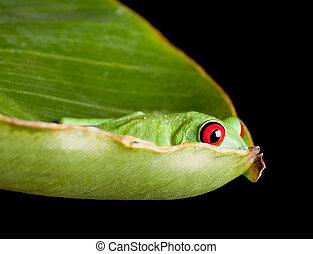 Red eyed frog hiding in leaf