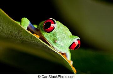 Red eyed frog on a leaf