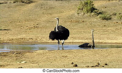 ostriches bathing in waterhole - Male (left) and female...