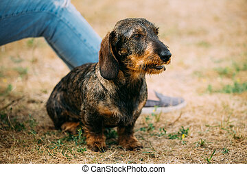 Brown Red wire-haired Dachshund Dog play outdoor in autumn...