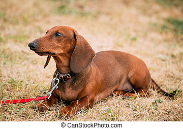 Brown Red Dachshund Dog play outdoors - Brown Red Dachshund...