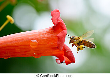 honey bee collects flower nectar...