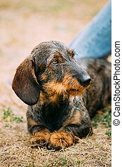 Brown Red wire-haired Dachshund Dog play outdoor - Funny...
