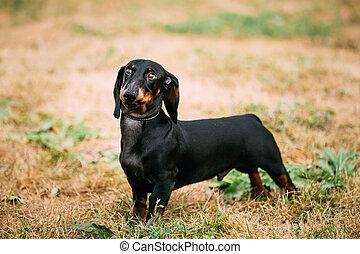 Black Dachshund Dog play outdoors - Black Red Dachshund Dog...