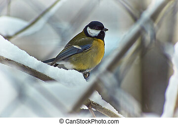 Tomtit in winter forest Parus ater - Tomtit on a tree in...