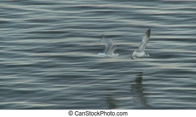 Sea Gull - A Sea-Gull flying in the old port, Montreal,...