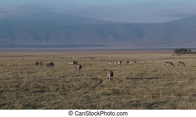 Plains Zebra herd grazing in Ngorongoro Crater