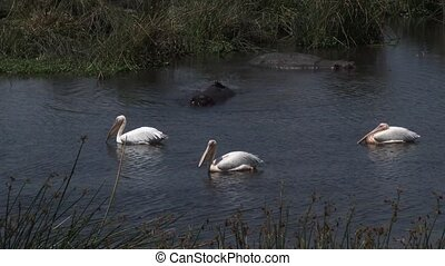 Great white pelicans in water with Hippos
