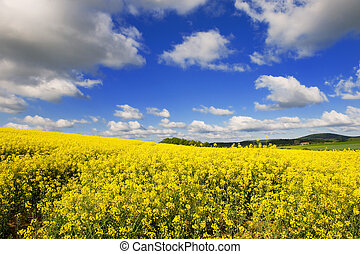 landscape with cole seed - Landscape with yellow cole seed...