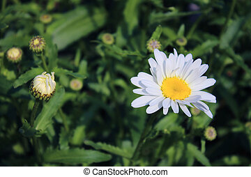 Daisy on blurred background