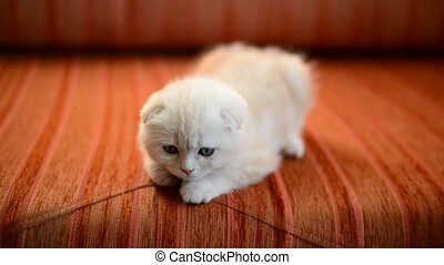 Scottish Fold kitten lies on red sofa - Scottish Fold kitten...