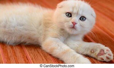Scottish Fold kitten lies on red sofa - Scottish Fold kitten...
