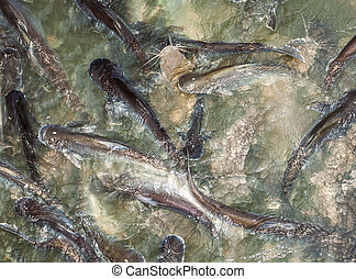 catfishes in the river are feeded by people - catfishes in...