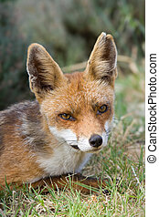 Red fox - Close-up of red fox in its natural habitat