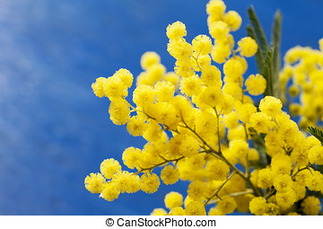 Mimosa - Branches of mimosa flower (silver wattle)on bright...