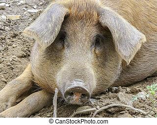 環境, 屋外, 汚い, 豚