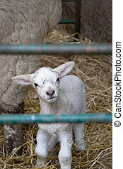 Little lamb - Lamb in a pen filled with straw