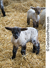 Little lamb - Black-faced lamb in a barn filled with straw