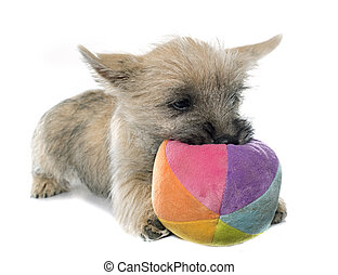 puppy cairn terrier in front of white background
