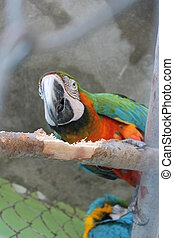 blue-and-orange macaw parrot (ara ararauna) perched